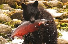 Bears love fresh salmon just as much as people; Vancouver Island, Canada Vancouver, Vancouver City, All About Canada, West Coast Living, Victoria British Columbia, Bear Cubs, Quebec City, Whistler