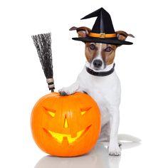 halloween jack russell   Halloween Pet Costume Photo Contest