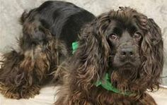 FRO FRO has 15 Day(s) Left to Live! Fro Fro Breed: Cocker Spaniel Age: Young adult Gender: Male Size: Medium, Shelter Information: Greenville County Animal Care Services 328C Furman Hall Road Greenville, SC Shelter dog ID: 19054275 Contacts: Phone: na Name: Lauren email: petrescue@greenvillecounty.org  About Fro Fro: ANIMAL ID: 19054275 BREED: Cocker Spaniel SEX: male EST. AGE: 10 mos Est Weight: 24.5 lbs HEALTH: appears healthy- hw neg TEMPERAMENT: dog friendly- cat friendly! Such a happy…