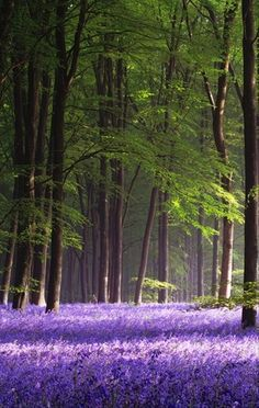 Micheldever wood hampshire england also know as Bluebell wood, good place for lovers