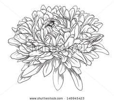 chrysanthemum line drawing Aster Tattoo, Aster Flower Tattoos, Chrysanthemum Drawing, Chrysanthemum Flower, Crysanthemum Tattoo, Simple Line Drawings, Flower Sketches, Flower Drawings, Neue Tattoos