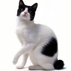 Japanese Bobtail Cat - http://catbreedsinformation.com/japanese-bobtail-cat/ For people that are looking for a medium sized, short coated cat breed, this is the cat for them. The Japanese Bobtail Cat is a popular cat breed originally from Japan.This cat breed has won over the hearts of their owners with ease. This is because they are very active, loyal, and outgoing.Owners can expect to spend many years with their Japanese Bobtail Cat. They are said to live between 15 and 16