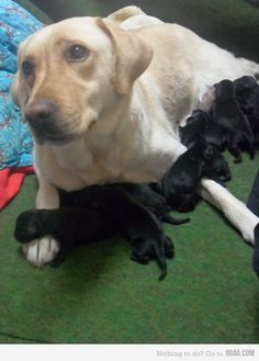 I´m just as surprised as you are, I swear! This is just what happened to our Kinsey girl. The daddy was a chocolate lab. go figure!