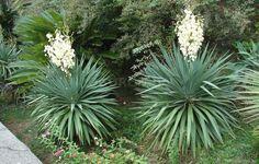 Юкка нитчатая все чаще появляется на наших клумбах. Ее популярность растет с каждым годом. В качестве декоративного растения ее выращивают во всем мире. И это неудивительно, ведь во время цветения от нее невозможно отвести глаз. А зимой по краям ее л...