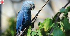 https://www.facebook.com/WonderBirdSpecies/ Spix's macaw (Cyanopsitta spixii); Endemic to Brazil; IUCN Red List of Threatened Species 3.1 : Critically endangered (CR)(Loài cực kỳ nguy cấp) || Vẹt Spix's macaw; Loài đặc hữu Brazil; HỌ VẸT - PSITTACIDAE (True parrots). Đặt tên theo nhà tự nhiên học người Đức Johann Baptist Ritter von Spix (9/02/1781 – 13/03/1826).