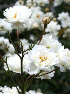 Tätt och buskigt utseende med upprätta till snett uppåtriktade grenar. Nästan taggfritt! Små, tätt fyllda blommor. Grunt skålformade till flata i yviga klasar med många blommor. Blommorna är först krämvita, senare vita med dekorativa, guldgula Small Garden, Flower Garden, Planting Flowers, Plants, Front Garden, Beautiful Flowers, Spring Blossom, Orchid Flower, Flowers