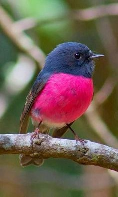 Pink Robin (male)