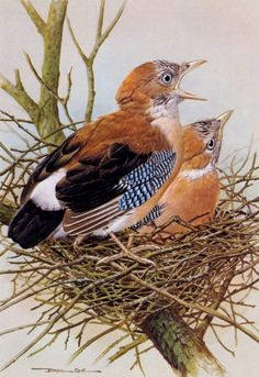 art-and-things-of-beauty: Basil Ede (England, 1931) Young European Jay, watercolour/gouache.