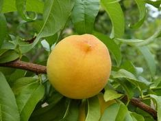 Find images of Peach. Peach Fruit, Fruits Images, Nature Images, Find Image, Orange, Vegetables, Gardening, Youtube, Fruit