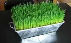 DIY for wheat grass centerpiece. I love doing my wheat grass display& in the spring. Even plant it along the sidewalk to hide easter eggs in. Flowerless Centerpieces, Grass Centerpiece, Kitchen Centerpiece, Baseball Centerpiece, Easter Centerpiece, Kitchen Decor, Growing Wheat Grass, Grass Decor, Sprouting Seeds