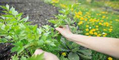 Pokud libeček správně zpracujete, můžete ho využívat celou zimu. Paths, Detox, Herbs, Canning, Vegetables, Garden, Compost, Garten, Lawn And Garden