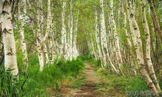 Birch Alley, Acadia National Park, Mount Desert Island, #Maine.  Photo credit: Clifford Photography