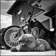 grafika bike, dogs, and french bulldog Cãezinhos Bulldog, French Bulldog Puppies, French Bulldogs, Cute Puppies, Cute Dogs, Dogs And Puppies, Doggies, Animals And Pets, Cute Animals
