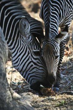 Africa Overland Tours: Kenya to Zambia Victoria Falls, Nairobi, Kenya, Safari, African, Tours, Animals, Animales, Animaux