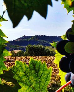 Carassai in Le Marche: few inhabitants few wineries but land of one of the best wines of Italy... and the 2017's harvest season promises a great vintage #carassai #marche #destinazionemarche #wine #marchebreaks #lemarche