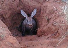 The Pig-like Aardvark | Strange Animals