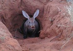 The Pig-like Aardvark | Strange Animals