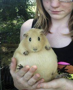 Awww! A pregnant guinea pig! (Looks like she swallowed a cantaloupe! -- from Cute Emergency