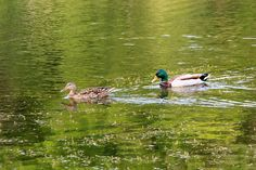 https://flic.kr/p/uGRJg3 | A Mallard couple | Male & female mallard at Miners Marsh.