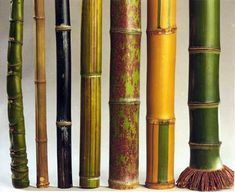 There are 1575 identified species of bamboo! Some resemble grass and some resemble trees, but they're all fast growers, durable, and great for sustainable building or design.     No matter your design needs, bamboo is the way to go!