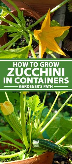 If you love zucchini but are short of garden space, why not try growing it in containers? Learn how to plant and grow zucchini in pots on Gardener's Path. Growing Vegetables At Home, Planting Vegetables, Growing Herbs, Vegetable Gardening, Allotment Gardening, Veggie Gardens, Growing Squash, Growing Zucchini, Zucchini Plants