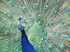 Peacocks   Original Beauty
