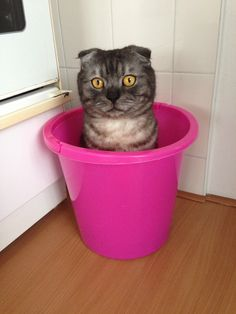 Scottish fold cat Moos Dwarf Cat, Cat Scottish Fold, Cat Boarding, Cat Breeds, Sushi, Charlotte, Kitty, Future, Cats