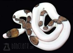 Piebald Reticulated Python by Bob Clark.