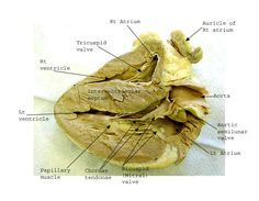 Cow heart dissection worksheet sheep heart dissection biology image result for sheep heart labeled ccuart Choice Image