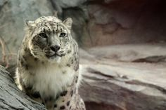 snow leopard wallpapers 1080p high quality, 1013 kB - Elrick Holiday