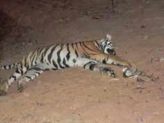 This just happened!! Two tigers were caught in steel traps set by professional tiger poachers in a heart-rending incident that took place 4-29-12 in Palasgaon Range near Chandrapur in Maharashtra. One tiger died and the other has been rescued by the Forest Department with serious injuries.