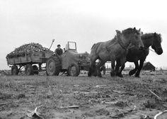 Suikerbietenoogst met paard en wagen Old Pictures, Old Photos, Vintage Photos, Vintage Farm, Vintage Ephemera, Agriculture, Farming, Women's Land Army, White Tractor