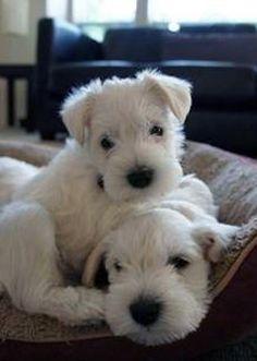 Deux Adorables Chiots 'Milou'