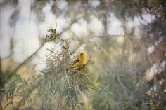 American Goldfinch in Winter Plumage by Angela A Stanton: I am starting to train my birds to let me get close to them so that when the season of mating starts and they are all in full mating colors, they let me stay close. So every day now I spend about 30 minutes in the yard about 10 feet from the bird feeder with my 200mm lens sitting on a pillow. I am not motionless; I want them to trust me.