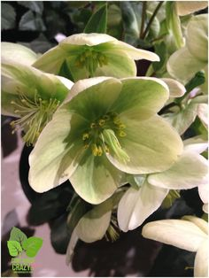 Hellebore at Greenhouse Growers Assoc.