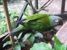 Parakeet,_Dusky-headed_YamezA.jpg (689×517)