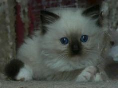 Seal Mitted Ragdoll Kitten  6 weeks old  Gorgeous eye colour