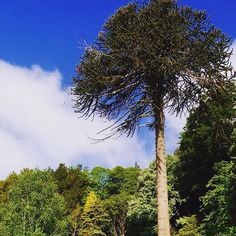The wonderful Monkey puzzle tree planted in 1842 @belvoircastle #trees #monkeypuzzle #gardens #trees