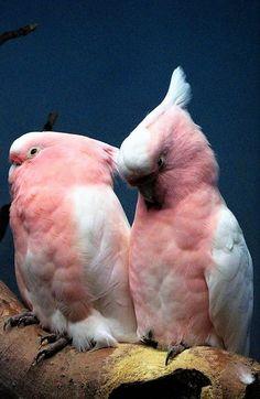 Cockatoos
