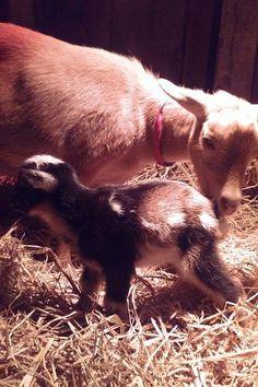#goatvet likes this blog about a  Rough Goat Kidding Season