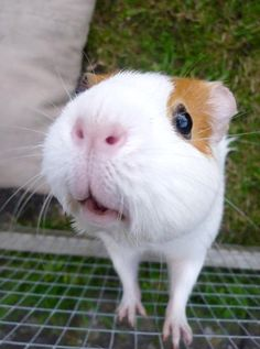 Inquisitive guinea pig