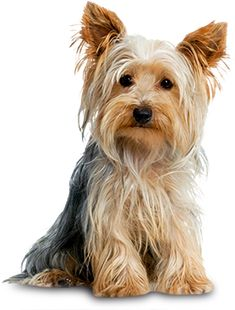Yorkshire Terrier | Small Dog Breeds | Mighty Dog®