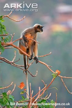 Black-footed gray langur sitting in a tree