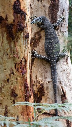 Lace Monitor (Varanus varius), on a Scribbly Gum Eucalyptus tree, Royal National Park, Sydney, Australia