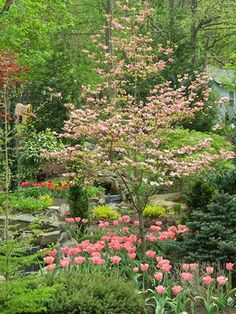 Dogwoods grow to an average height of 15 to 25 feet and provide interest in all seasons, starting out with flowering in early spring to deep-green foliage in the summer. During fall it turns to purple-red foliage with bright red berries that aren't actually berries but small clusters of fruit called drupes.