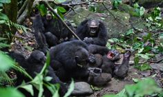 Chimp war reveals how human societies splinter