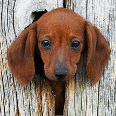 Dachshund pup!