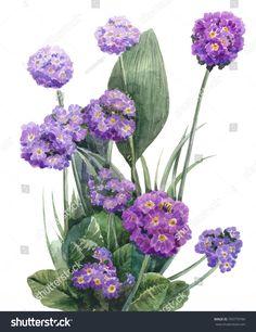 watercolor primula denticulata