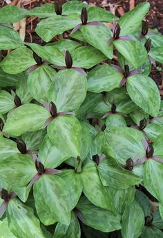 Trillium gracile (Plant Delights Nursery) - light shade, originally from Texas but hardy to zone