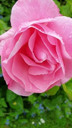 hybrid tea roses names in Beautiful Flowers Wallpapers, Beautiful Rose Flowers, Amazing Flowers, Pretty Flowers, Pink Flowers, Love Rose Flower, Colorful Roses, Beautiful Gif, Purple Roses